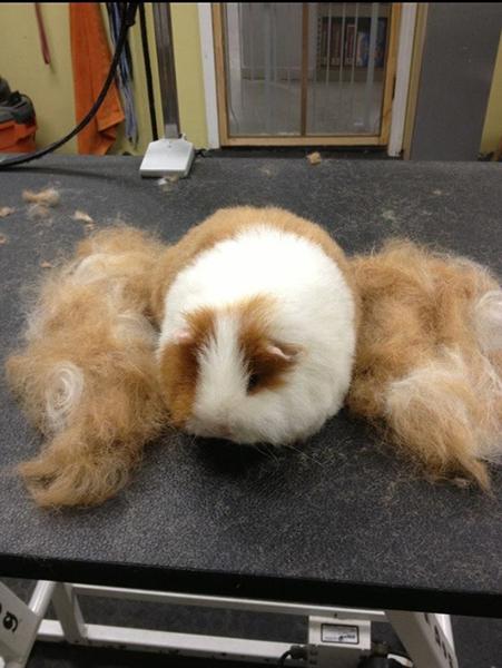 06 groomed guinea pig